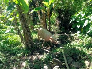 Piggy, clearing and fertilizing a new piece of land - Good Job Piggy!!!