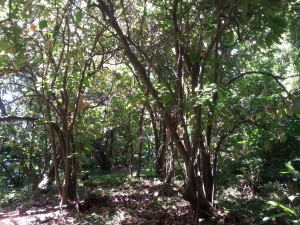 Another view of the cocoa field
