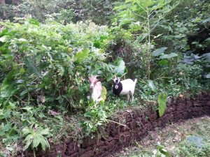 Goatguin and Francois grazing by the old pond